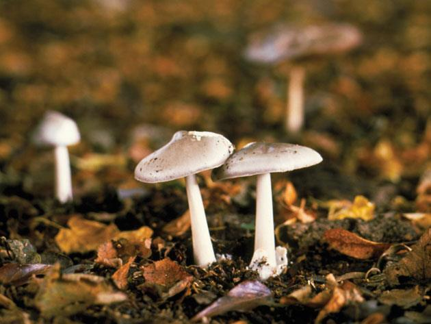 Deadly Mushroom Chemistry Feature Chemistry World