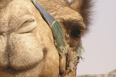Camel close-up