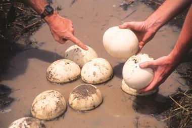 ostrich eggs i stock 102953447 large